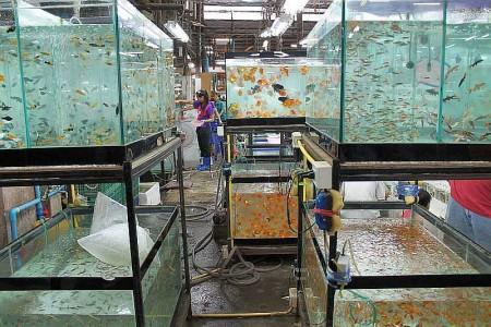 aquarienfische kaufen phuket thailand