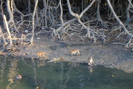 affen in mangroven phuket