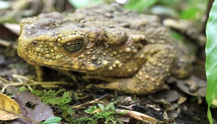 frosch in thailand