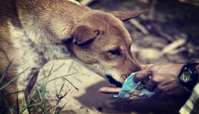 soidog phuket strassenhunde thailand