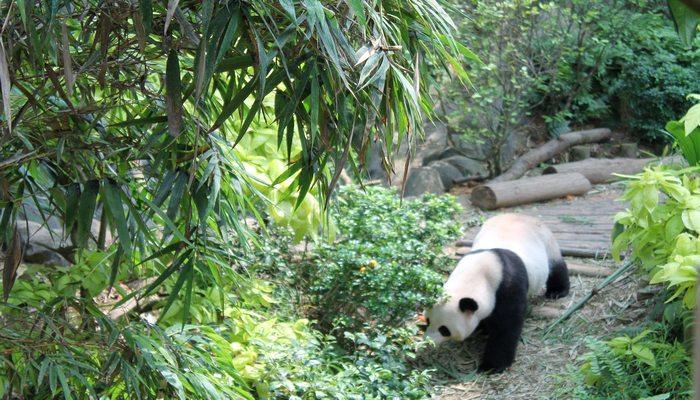 singapur zoo panda