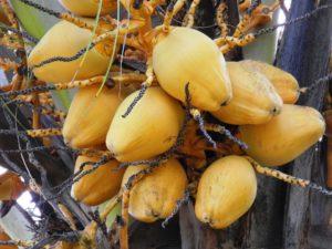 brotfrucht