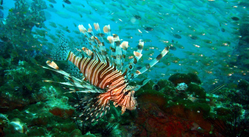 rotfeuerfisch tauchen phuket