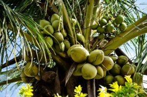kokosnus
